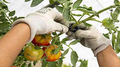 Pinces à tomates